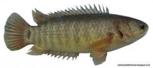 ikan-betok-300x133
