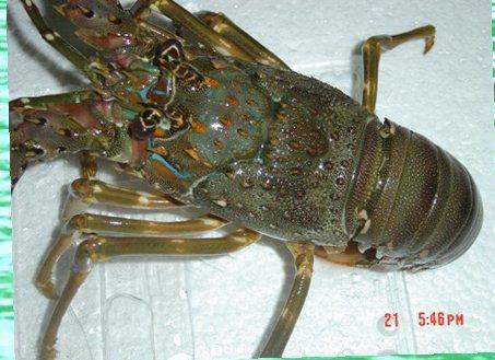 lobster-pasir-di-jakarta_pembeli-lobster-bambu-di-jakarta_kalimantan_palu_harga-lobster-pasir-di-medan-crop