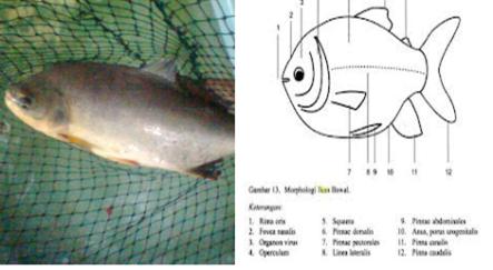 Laporan Pembenihan Ikan Bawal Air Tawar Colossoma Macropomum Blog Bersama
