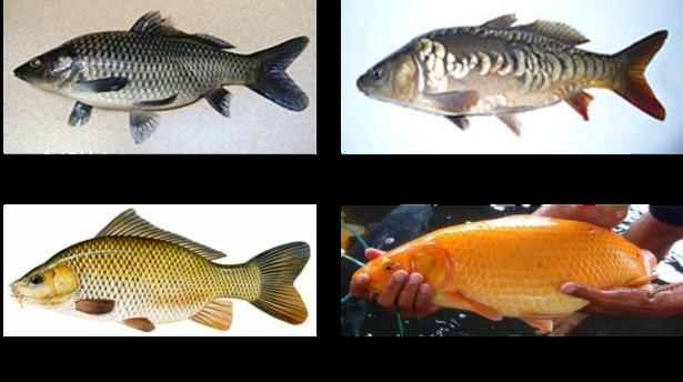 Proposal Pembenihan Ikan Mas Blog Bersama