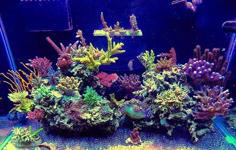 arce-tank-sps-coral-3
